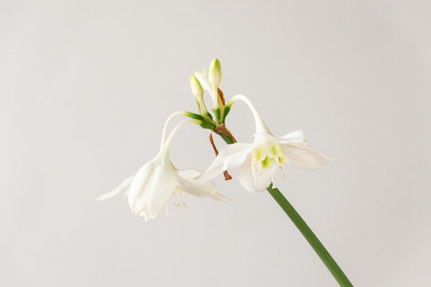 White flowers of eucharis amazonica (amazon lily) on white background