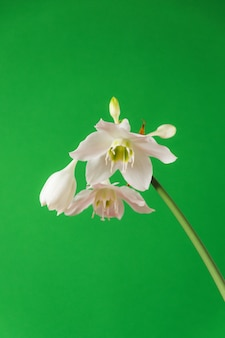 White flowers of eucharis amazonica on green