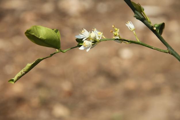 ぼやけた土壌背景の枝に生えている白い花