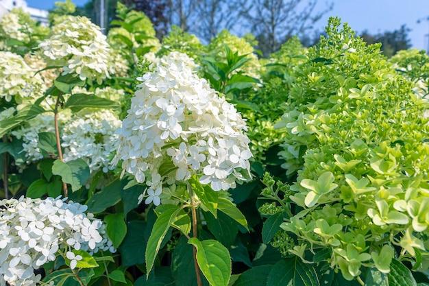 흰 꽃 수국. 벽지, 엽서, 표지, 배너 꽃 자연 배경. 웨딩 장식입니다. 아름다운 꽃다발. 큰 잎이 달린 호르텐시아.