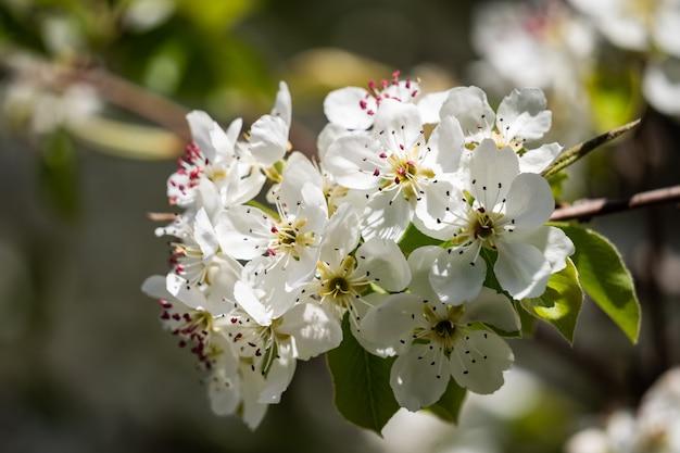Белые цветы ароматной яблони в саду теплым весенним днем и цветут