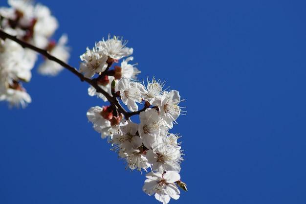 青い空を背景に春のアプリコットの木の白い花。