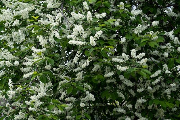 Белые цветы черемухи весной