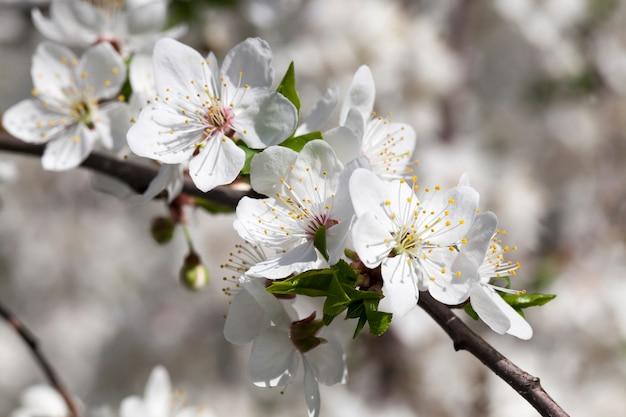 Белые цветы вишни или других фруктовых деревьев в весеннюю теплую погоду, крупным планом