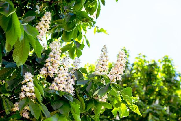 Белые цветы каштана на открытом воздухе. копировать space_