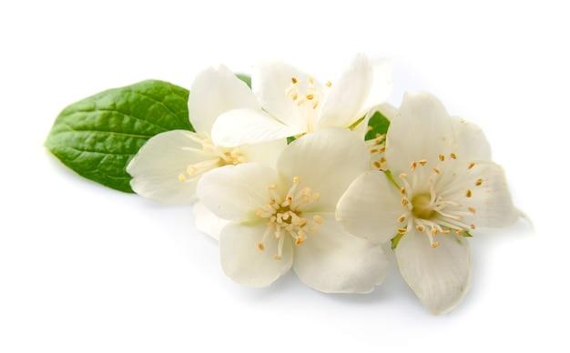 Белые цветы жасмина, изолированные на белом фоне