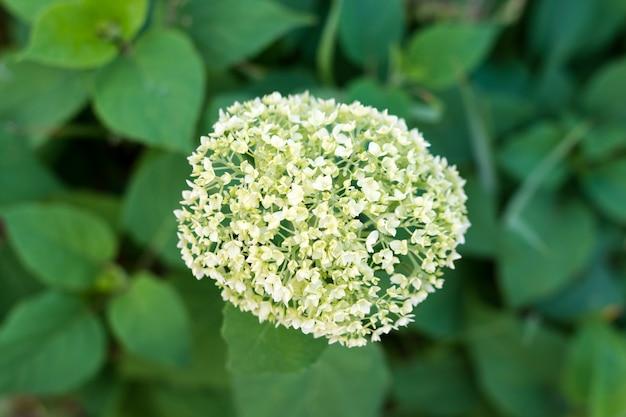 Белые цветки гортензии метельчатой