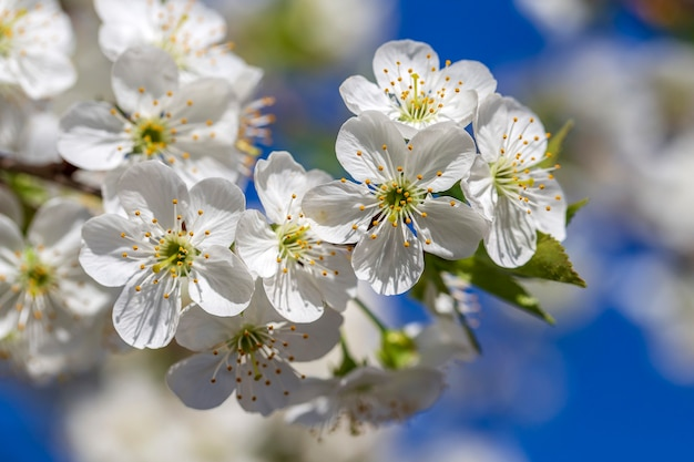 푸른 하늘 배경 위에 봄 날에 벚꽃의 흰 꽃
