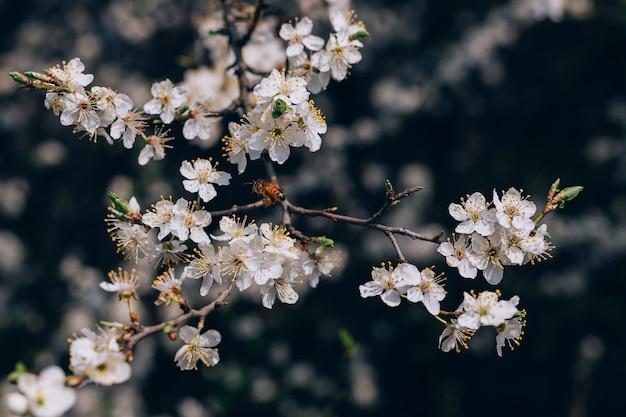 봄 날에 꿀벌과 벚꽃의 흰 꽃 클로즈업