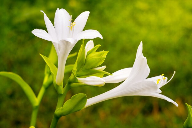 Белые цветы хосты на зеленом размытом фоне на клумбе в саду