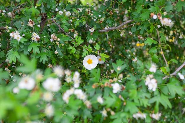 Белые цветки растения, называемого мавританским ягзом черной степной или черной каменной розой cistus salviifolius.