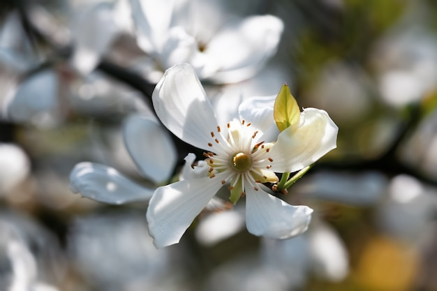 Trifoliate orange, poncirus trifoliata 또는 citrus trifoliata의 흰색 꽃은 일본의 쓴 오렌지, 강건한 오렌지 또는 중국의 쓴 오렌지로도 알려져 있습니다.