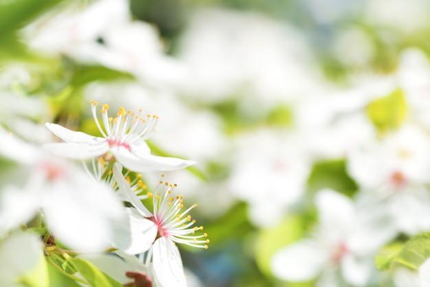 Белые цветы на цветущем вишневом дереве с мягким фоном из зеленых весенних листьев. макросъемка