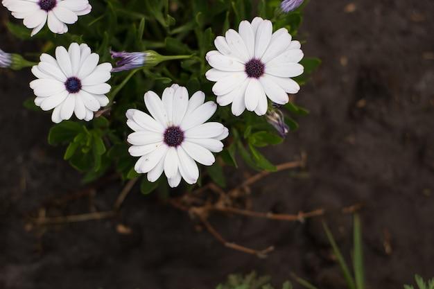 공원 osteospermum 꽃의 화단에 흰색 꽃