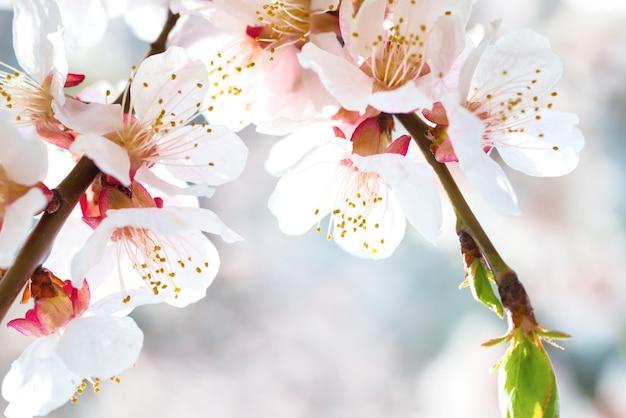 Белые цветы на весенней сливе с мягким синим фоном боке