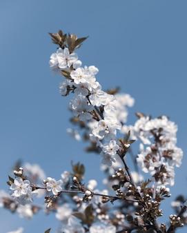 나뭇 가지에 흰 꽃입니다. 부드러운 빛 푸른 하늘에 소프트 포커스와 꽃이 만발한 나무의 가지. 봄 자연의 아름다운 꽃 이미지