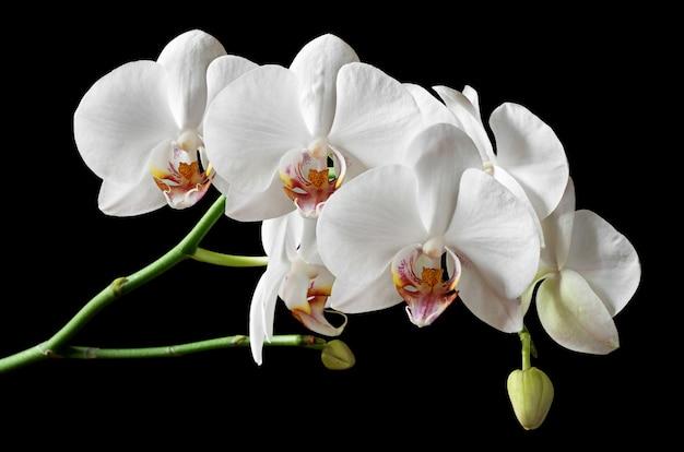 검은 배경에 고립 된 흰색 꽃 난초