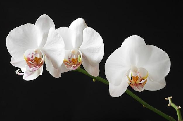 검은 배경에 흰색 꽃 난초