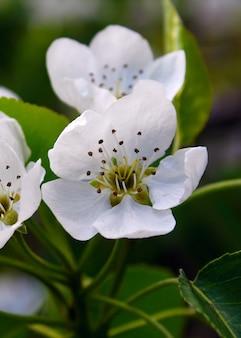 White flowers pear garden