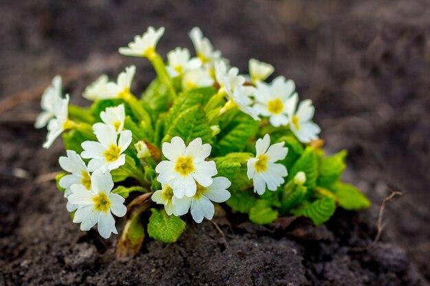 Примула белые цветы в саду на клумбе