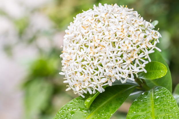 White flowers, siamese white ixora (ixora lucida r.br. ex hook.f.), with water droplets.