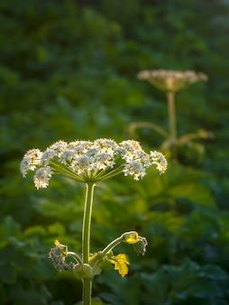 白い花、ソフトフォーカス。ブタクサの花は夕方の野原で育ちます。
