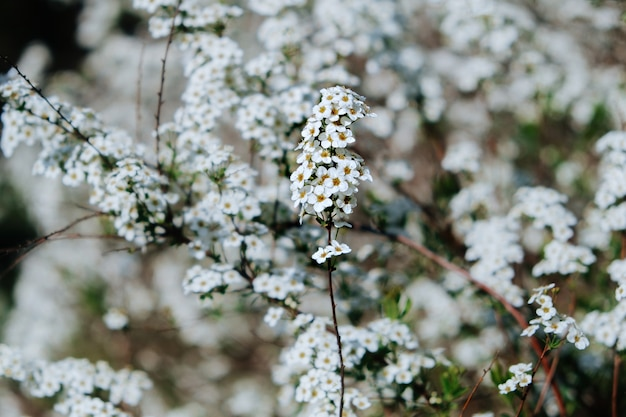 White flowers of spiraea or meadowsweet