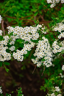 White flowers of spirea close up, white small flowers on branch