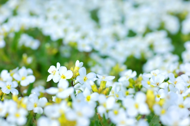 Fiori bianchi con sfocatura dello sfondo