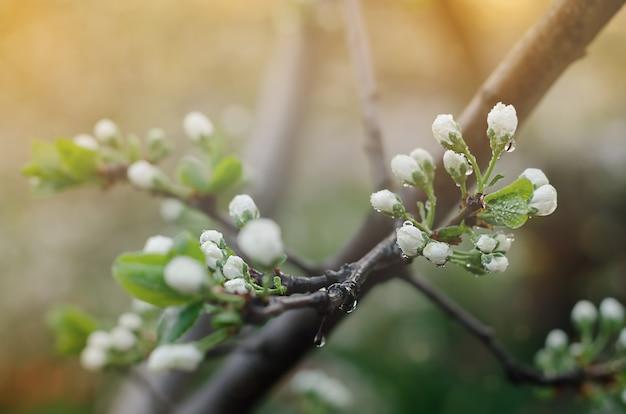 Белые цветы с каплями дождя на сливе в саду весной