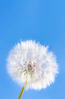 A white fluffy dandelion on background a blue sky. a round fluffy head of a summer plant with seeds. the concept of freedom, dreams of the future, tranquility. vertically banner, copy space.