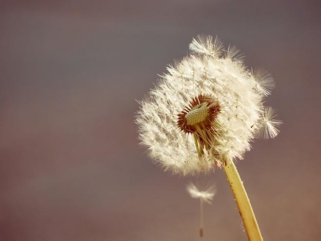 白いふわふわタンポポが咲く