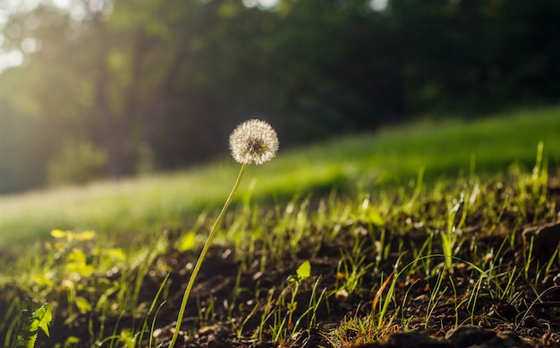 White fluffy dandelion on a blurred nature