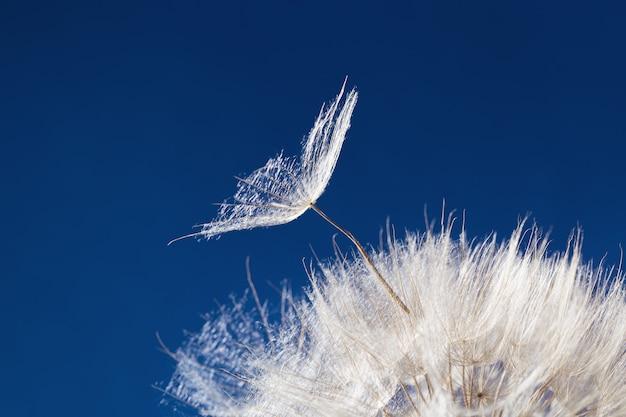 푸른 배경에 햇빛에 하얀 솜털 민들레 씨앗을 날리는 밝고 맑은 꽃