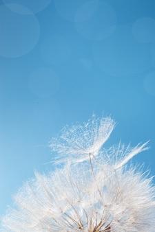 파란색 배경에 햇빛에 하얀 솜털 민들레 파리 씨앗이 있는 밝고 맑은 꽃이 닫힙니다.
