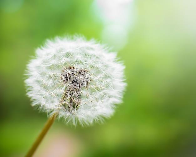 Белый пушистый одуванчик природа цветок лесной парк весна