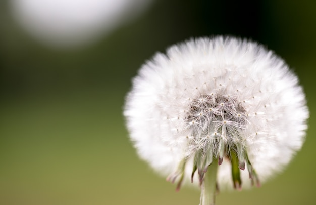 White fluffy dandelion with seeds on natural green blurred nature