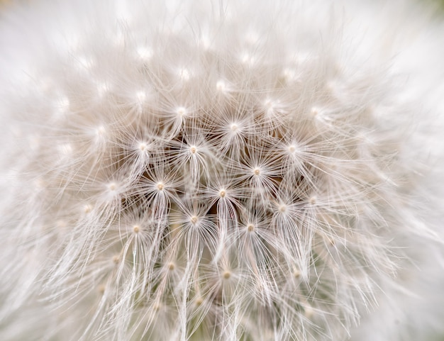 White fluffy dandelion with seeds up close