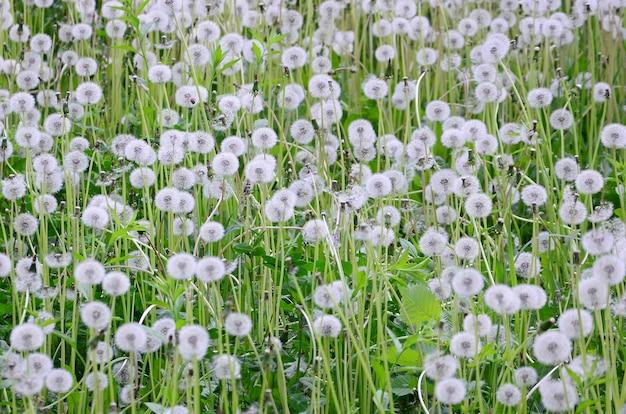 White fluffy dandelions flower in green field
