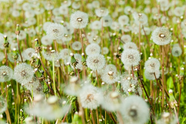 牧草地に生えている白いふわふわタンポポ。タンポポの種。写真のクローズアップ。