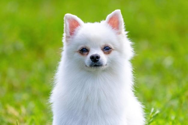ぼやけた背景に白いふわふわの犬種スピッツをクローズアップ、小さなかわいい犬の肖像画
