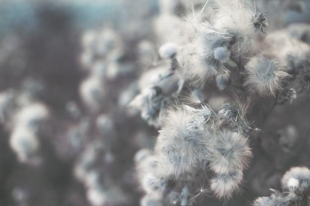 Белые пушистые цветы шип на поле естественный задний