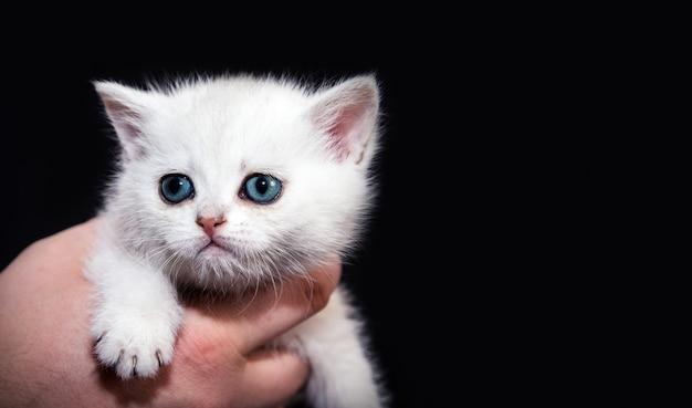 Белый пушистый котенок на руках.