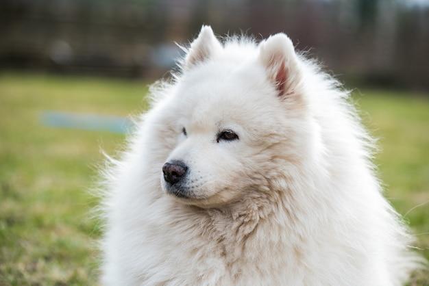 Белая пушистая старая самоедская собака портрет крупным планом