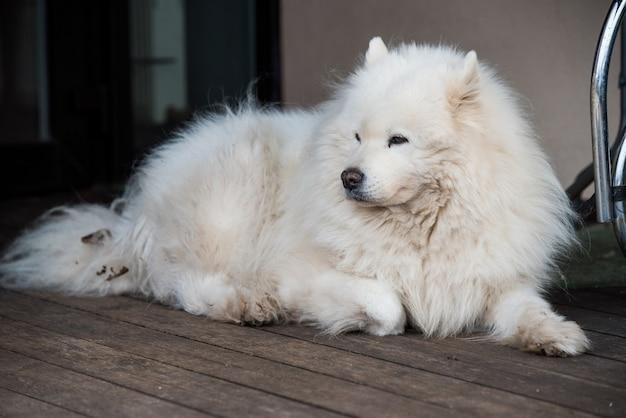 Белый пушистый старый портрет самоедской собаки снаружи