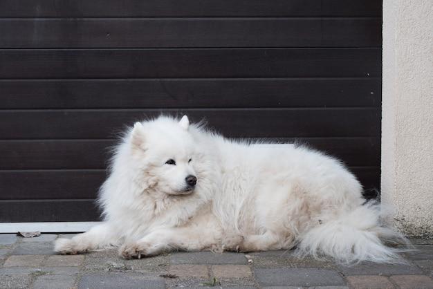 Белый пушистый старый портрет самоедской собаки снаружи Premium Фотографии
