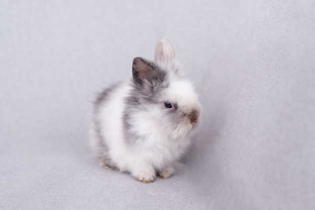 White fluffy rabbit on a gray background.