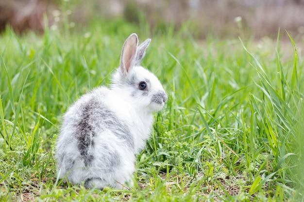 White fluffy rabbit on green grass