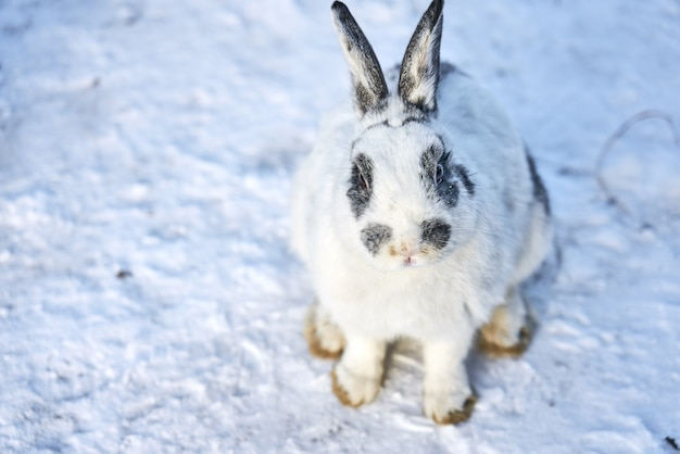 White fluffy rabbit waiting for feeding on snow
