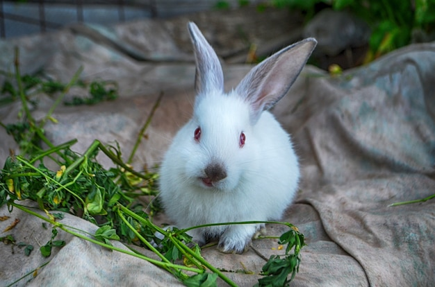 White fluffy rabbit